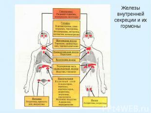 Железы внутренней секреции и их гормоны