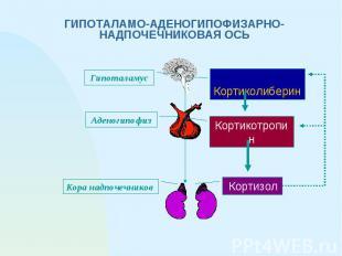 ГИПОТАЛАМО-АДЕНОГИПОФИЗАРНО-НАДПОЧЕЧНИКОВАЯ ОСЬ Кортиколиберин Кортикотропин Кор