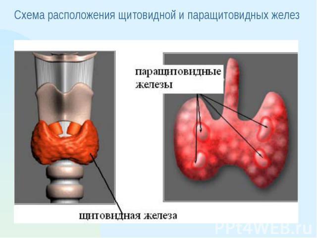 Схема расположения щитовидной и паращитовидных желез