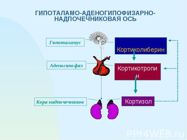 ГИПОТАЛАМО-АДЕНОГИПОФИЗАРНО-НАДПОЧЕЧНИКОВАЯ ОСЬ Кортиколиберин Кортикотропин Кортизол Гипоталамус Аденогипофиз Кора надпочечников