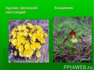 Адонис весенний Башмачек настоящий