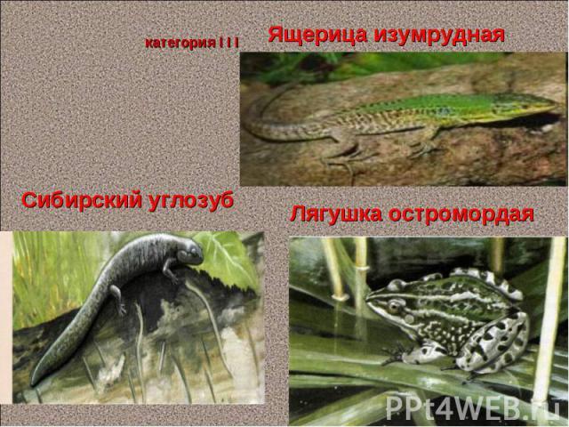 Ящерица изумрудная Сибирский углозуб категория I I I Лягушка остромордая Панова О.Л. *