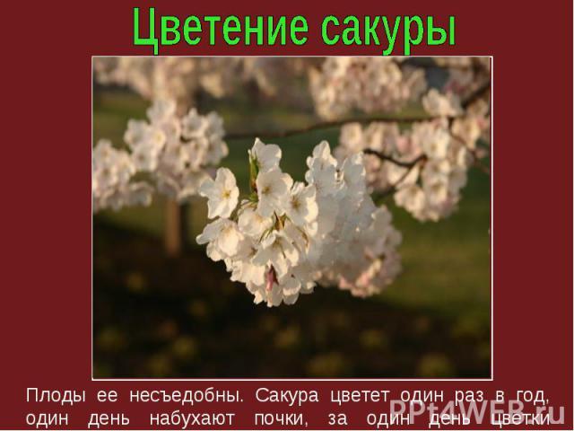 Плоды ее несъедобны. Сакура цветет один раз в год, один день набухают почки, за один день цветки облетают.