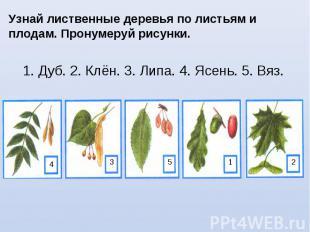 Узнай лиственные деревья по листьям и плодам. Пронумеруй рисунки. 1. Дуб. 2. Клё