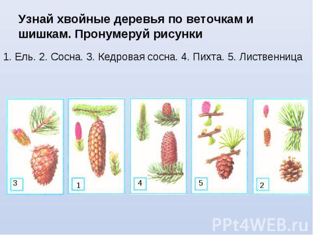 Узнай хвойные деревья по веточкам и шишкам. Пронумеруй рисунки 1. Ель. 2. Сосна. 3. Кедровая сосна. 4. Пихта. 5. Лиственница 3 1 4 5 2