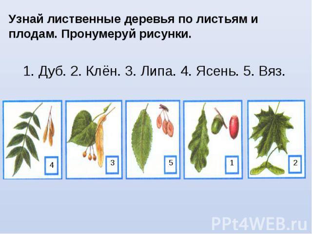 Узнай лиственные деревья по листьям и плодам. Пронумеруй рисунки. 1. Дуб. 2. Клён. 3. Липа. 4. Ясень. 5. Вяз. 4 3 5 1 2