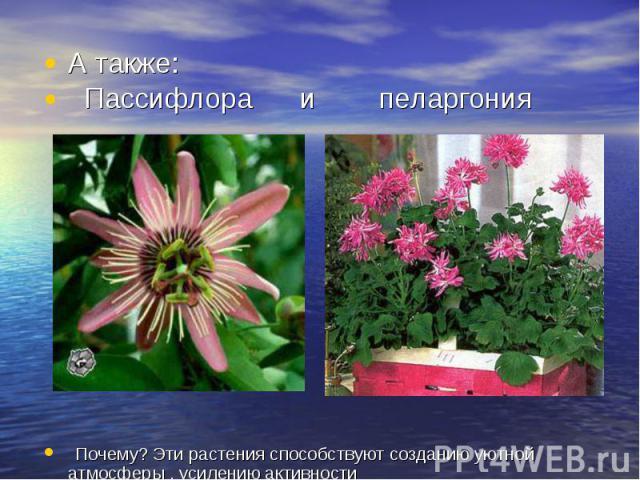 А также: Пассифлора и пеларгония Почему? Эти растения способствуют созданию уютной атмосферы , усилению активности