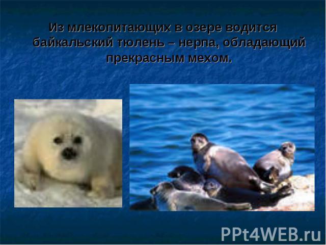 Из млекопитающих в озере водится байкальский тюлень – нерпа, обладающий прекрасным мехом.