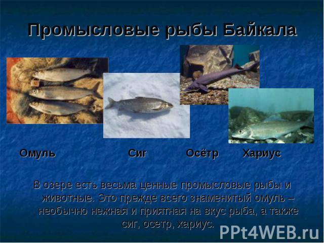 Промысловые рыбы Байкала Омуль Сиг Осётр Хариус В озере есть весьма ценные промысловые рыбы и животные. Это прежде всего знаменитый омуль – необычно нежная и приятная на вкус рыба, а также сиг, осетр, хариус.