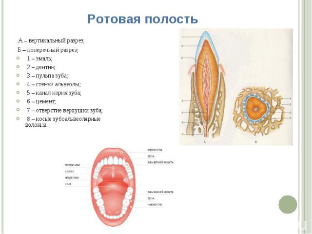 Ротовая полость А – вертикальный разрез; Б – поперечный разрез; 1 – эмаль; 2 – дентин; 3 – пульпа зуба; 4 – стенки альвеолы; 5 – канал корня зуба; 6 – цемент; 7 – отверстие верхушки зуба; 8 – косые зубоальвеолярные волокна.