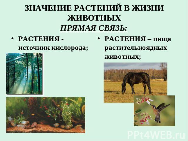 ЗНАЧЕНИЕ РАСТЕНИЙ В ЖИЗНИ ЖИВОТНЫХ ПРЯМАЯ СВЯЗЬ: РАСТЕНИЯ - источник кислорода; РАСТЕНИЯ – пища растительноядных животных;