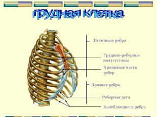 Истинные ребра Грудино-реберные полусуставы Хрящевые части ребер Ложные ребра Ре