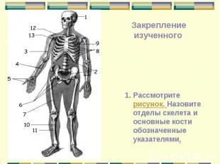 Рассмотрите рисунок. Назовите отделы скелета и основные кости обозначенные указа