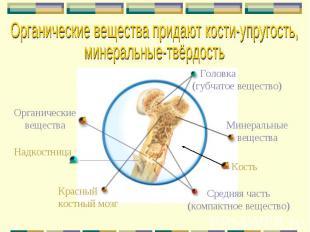 Кость Головка (губчатое вещество) Красный костный мозг Средняя часть (компактное