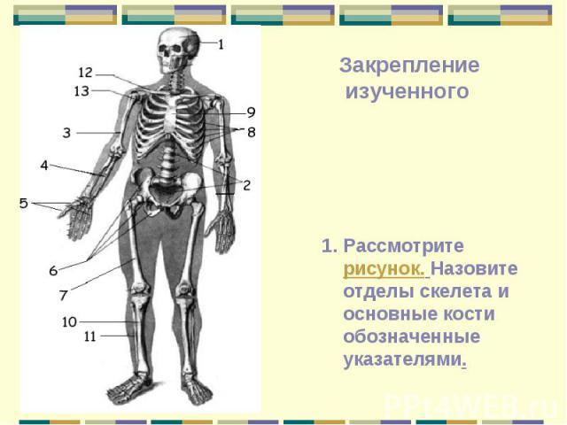 Рассмотрите рисунок. Назовите отделы скелета и основные кости обозначенные указателями. Закрепление изученного