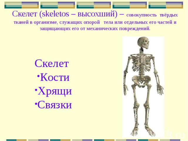 Скелет (skeletos – высохший) – совокупность твёрдых тканей в организме, служащих опорой тела или отдельных его частей и защищающих его от механических повреждений. Скелет Кости Хрящи Связки