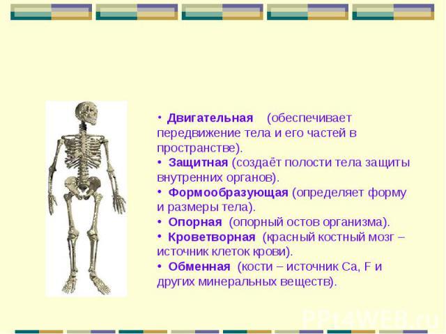 Двигательная (обеспечивает передвижение тела и его частей в пространстве). Защитная (создаёт полости тела защиты внутренних органов). Формообразующая (определяет форму и размеры тела). Опорная (опорный остов организма). Кроветворная (красный костный…