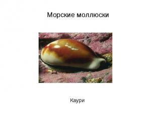 Морские моллюски Каури