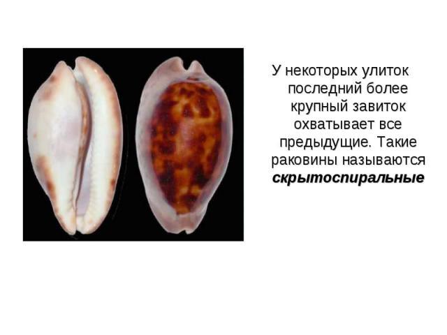 У некоторых улиток последний более крупный завиток охватывает все предыдущие. Такие раковины называются скрытоспиральные