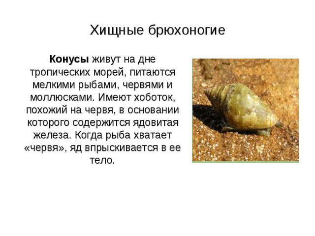 Хищные брюхоногие Конусы живут на дне тропических морей, питаются мелкими рыбами, червями и моллюсками. Имеют хоботок, похожий на червя, в основании которого содержится ядовитая железа. Когда рыба хватает «червя», яд впрыскивается в ее тело.