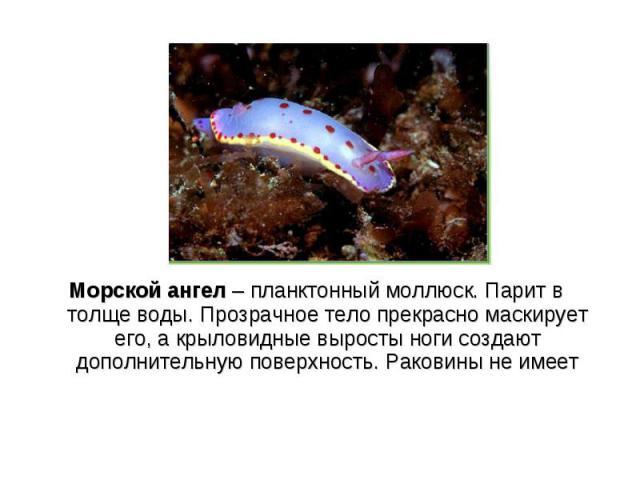 Морской ангел – планктонный моллюск. Парит в толще воды. Прозрачное тело прекрасно маскирует его, а крыловидные выросты ноги создают дополнительную поверхность. Раковины не имеет