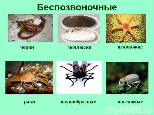 Беспозвоночные моллюски черви иглокожие раки паукообразные насекомые