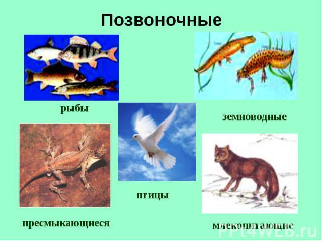 рыбы земноводные пресмыкающиеся птицы млекопитающие Позвоночные