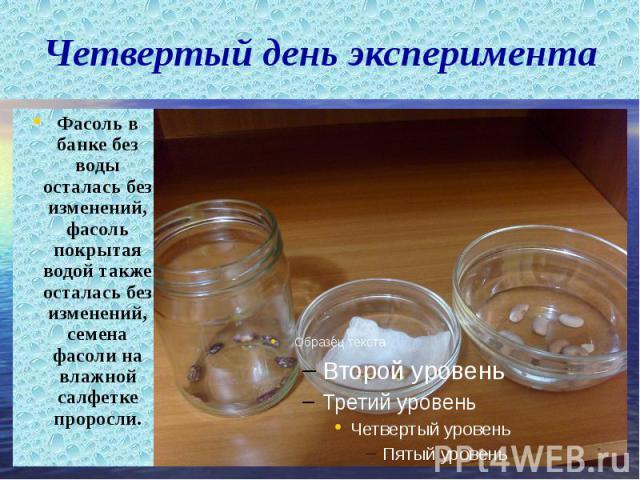Четвертый день эксперимента Фасоль в банке без воды осталась без изменений, фасоль покрытая водой также осталась без изменений, семена фасоли на влажной салфетке проросли. Фасоль в банке без воды осталась без изменений, фасоль покрытая водой также о…