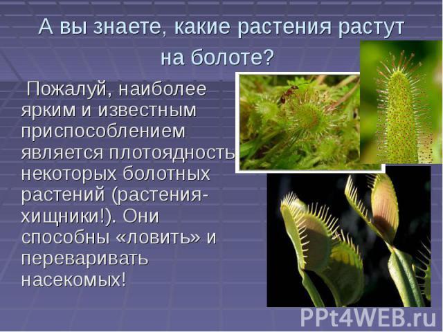 А вы знаете, какие растения растут на болоте? Пожалуй, наиболее ярким и известным приспособлением является плотоядность некоторых болотных растений (растения- хищники!). Они способны «ловить» и переваривать насекомых! Пожалуй, наиболее ярким и извес…