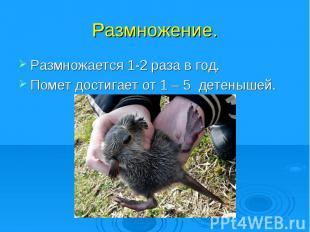 Размножение.Размножается 1-2 раза в год.Помет достигает от 1 – 5 детенышей.