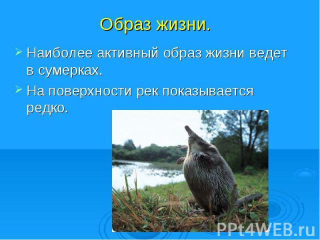 Образ жизни. Наиболее активный образ жизни ведет в сумерках.На поверхности рек показывается редко.