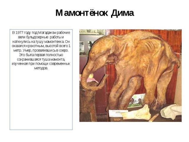 Мамонтёнок Дима В 1977 году под Магаданом рабочие вели бульдозерные работы и наткнулись на тушу мамонтенка. Он оказался крохотным, высотой всего 1 метр. Умер, провалившись в озеро. Это была первая полностью сохранившаяся туша мамонта, изученная при …