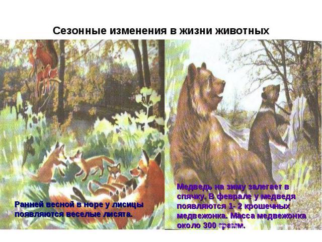 Сезонные изменения в жизни животных Медведь на зиму залегает в спячку. В феврале у медведя появляются 1- 2 крошечных медвежонка. Масса медвежонка около 300 грамм. Ранней весной в норе у лисицы появляются веселые лисята.