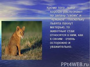 """Кроме того, львы хорошо распознают по запаху """"своих"""" и """"чужаков"""". Поскольку львя"""