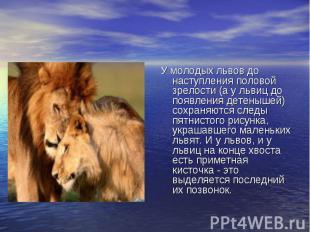 У молодых львов до наступления половой зрелости (а у львиц до появления детеныше