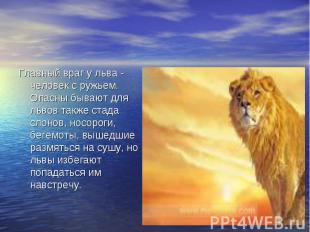 Главный враг у льва - человек с ружьем. Опасны бывают для львов также стада слон
