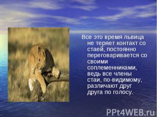 Все это время львица не теряет контакт со стаей, постоянно переговаривается со с