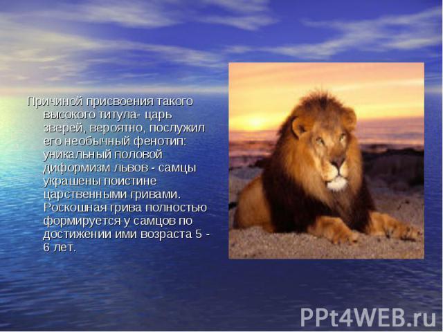 Причиной присвоения такого высокого титула- царь зверей, вероятно, послужил его необычный фенотип: уникальный половой диформизм львов - самцы украшены поистине царственными гривами. Роскошная грива полностью формируется у самцов по достижении ими во…