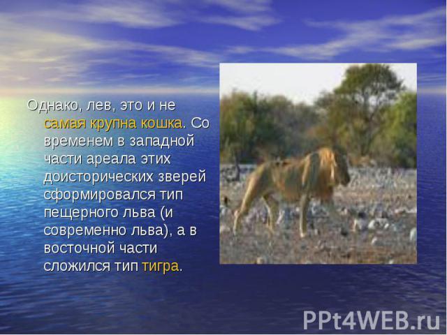 Однако, лев, это и не самая крупна кошка. Со временем в западной части ареала этих доисторических зверей сформировался тип пещерного льва (и современно льва), а в восточной части сложился тип тигра. самая крупна кошкатигра самая крупна кошкатигра