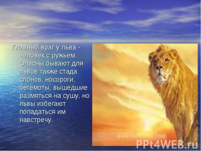 Главный враг у льва - человек с ружьем. Опасны бывают для львов также стада слонов, носороги, бегемоты, вышедшие размяться на сушу, но львы избегают попадаться им навстречу.