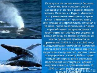 Останутся ли серые киты у берегов Сахалина или исчезнут вовсе? Сегодня этот вопр