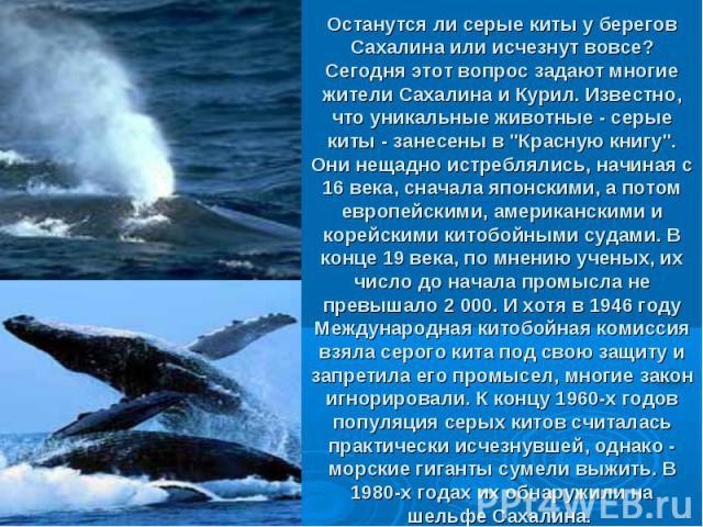 Останутся ли серые киты у берегов Сахалина или исчезнут вовсе? Сегодня этот вопрос задают многие жители Сахалина и Курил. Известно, что уникальные животные - серые киты - занесены в
