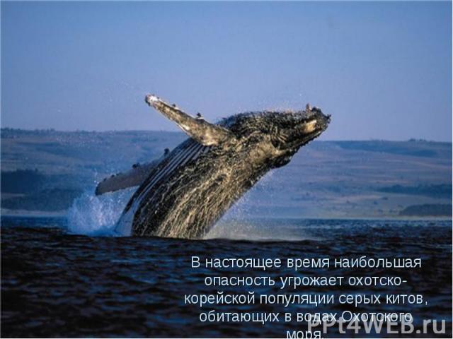 В настоящее время наибольшая опасность угрожает охотско- корейской популяции серых китов, обитающих в водах Охотского моря.