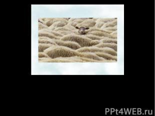 Следующей по времени одомашнивания, видимо, была коза. Произошло это от 9 до 12