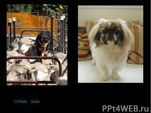 СобакиСобаки и овцы были первыми одомашненными животнымиовцы