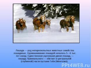 Лошади род непарнокопытных животных семейства лошадиных. Одомашнивание лошадей н