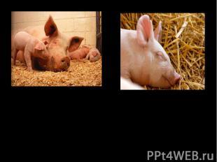 9000 лет назад в Китае и Юго-Восточной Азии были одомашнены свиньи, разводившиес