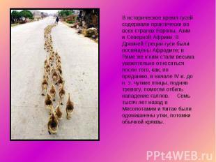 В историческое время гусей содержали практически во всех странах Европы, Азии и