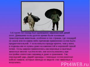 5-6 тысяч лет назад был одомашнен африканский дикий осел. Домашние ослы долгое в