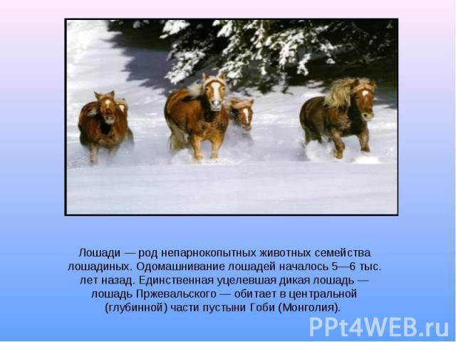 Лошади род непарнокопытных животных семейства лошадиных. Одомашнивание лошадей началось 56 тыс. лет назад. Единственная уцелевшая дикая лошадь лошадь Пржевальского обитает в центральной (глубинной) части пустыни Гоби (Монголия).
